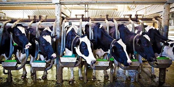 Secure-Cattle-bovino1