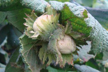 Centro para la Investigación e Innovación en Fruticultura para la Zona Sur: Sostenibilidad y uso eficiente de recursos en la producción de avellano europeo en la zona sur de Chile